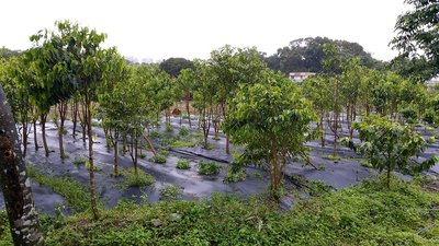 Aquilaria trees growing in one of Asia Plantation Capital's sustainably managed plantations