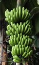 The newest Cavendish banana somaclone cultivar (GCTCV-218-2) is characterized with high moderate resistance to FOC TR4, high-yielding, and mild affection.