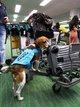 检测旅客随身物品的检疫犬